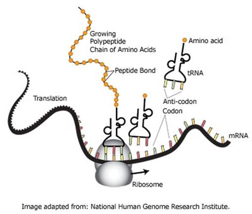 diagram of protein synthesis